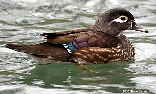 Duck Like Birds